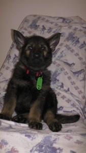 Nika von der Siegerstrasse 7 Wochen alt (2)