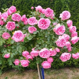 Bei uns Dahoam Blumenbilder  Juni 2019