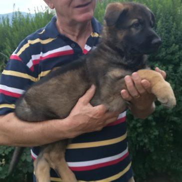 3 Welpe ist ausgezogen,wir wünschen Roberto Luca mit mit seinem Orso von der Siegerstrasse geht nach Italien, viel viel Erfolg und Gesundheit.Ich bin stolz so einen Hundeführer in meiner Zuchtstätte von der Siegerstrasse zuhaben. – von der Siegerstrasse
